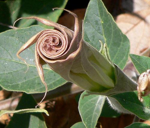 Jimson Weed Spiral by Karen Greenbaum-Maya