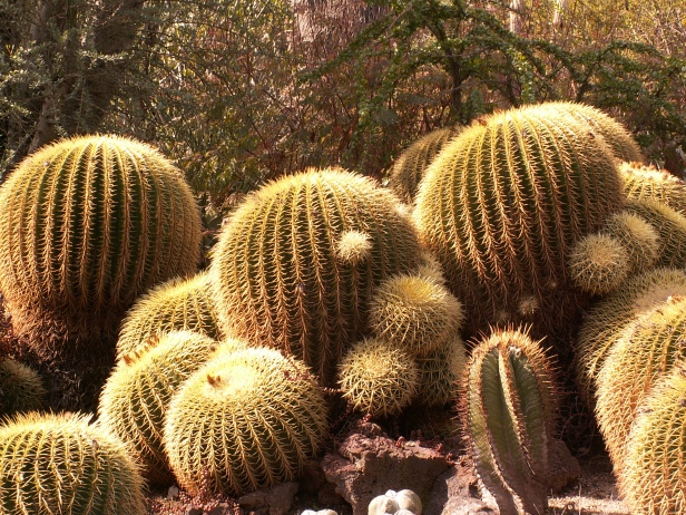 Barrel Cactus, Morning Light - Huntington Gardens by Marcyn Clements