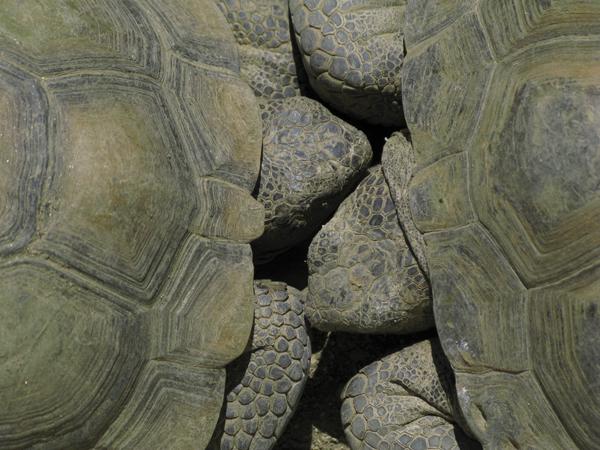 Desert Tortoises by Roger Camp