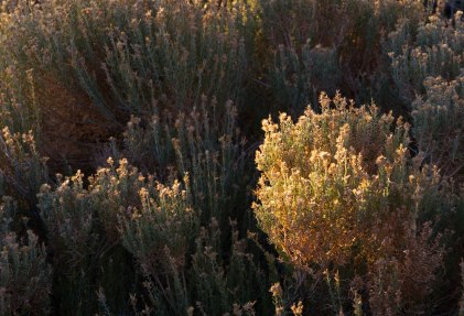 Joshua Tree Scrub by Lynn Thomas