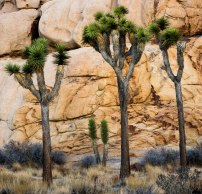 Joshua Trees by Lynn Thomas