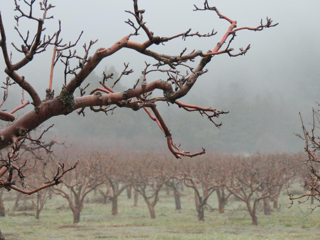Jeff Mays - Apple Orchard, Oak Glen
