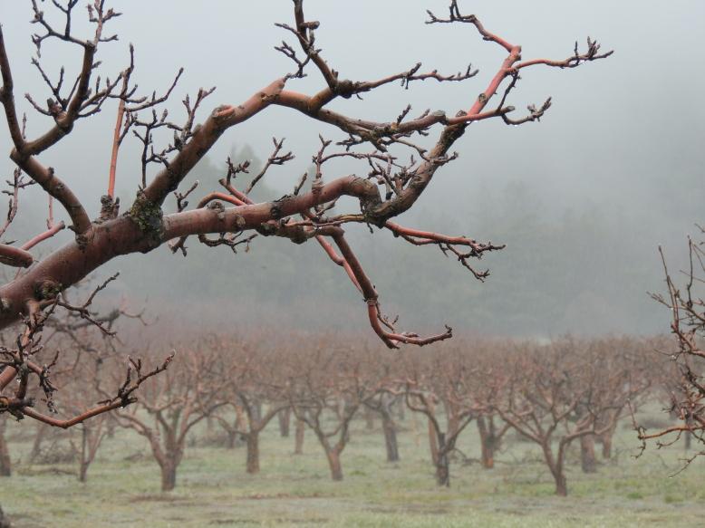Jeff_Mays-apple_orchard__oak_glen